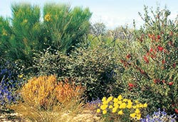 Diverse shrubland with blue Dampiera and yellow Glischrocaryon. Photo Margaret Quicke.