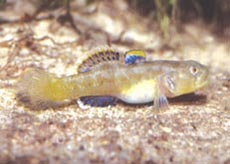 Edgbaston goby (Chlamydogobius squamigenus) is Critically Endangered, Edgbaston Reserve, Qld. Photo Guntha Schmida/Lochman Transparencies.