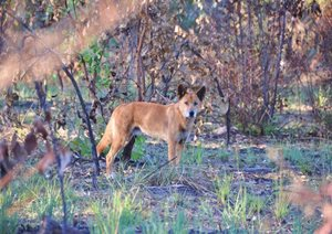 An adult male Dingo at Carnarvon Reserve. Photo Cathy Zwick.
