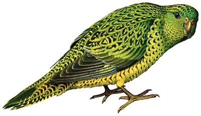 Night Parrot painted by William T. Cooper