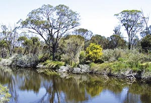 Flat top yate and flowering wattle line a waterhole on Chereninup Creek Reserve, WA.  Photo Chinch Gryniewicz.