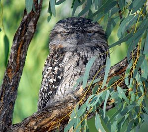 Tawny Frogmouth at Yourka Reserve, Qld. Photo Wayne Lawler/EcoPix.
