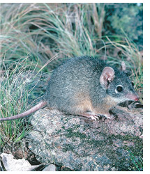 Yellow-footed antechinus. Photo Andrew Henley.
