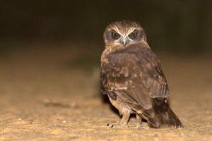 A Southern Boobook Owl at our Eurardy Reserve, WA. Photo Ben Parkhurst.