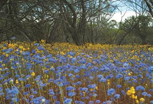 Carpet of flowers including blue pincushion, Eurardy Reserve. Photo Julian Fennessy.