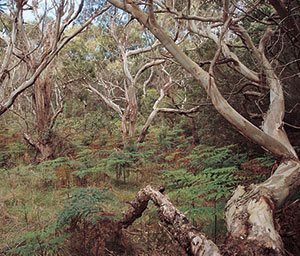 Eucalyptus viminalis woodland is a threatened community.