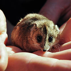 A stripe-faced dunnart on Boolcoomatta Reserve. Photo by Annette Ruzicka.