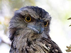 Tawny Frogmouths have powerful beaks and eyes. Photo Jasmin-mae Robinson.