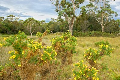 Gorse is a woody weed threatening the reserve. Photo Wayne Lawler / EcoPix.
