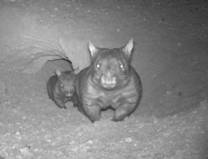 Southern Hairy-nosed Wombats on Bon Bon Reserve captured by a remote sensor camera.