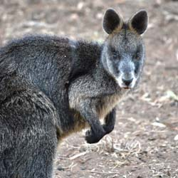A Swamp Wallaby.