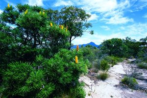 Candle Banksias at Yarrabee. Photo: Marie Lochman/Lochman Transparencies.