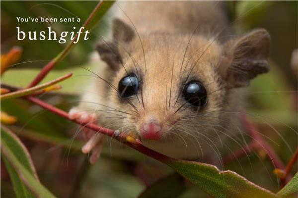 Western Pygmy Possum Card