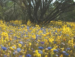 A profusion of yellow daisies and blue pincushion Brunonia australis. Photo Julian Fennessy.