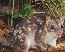 Northern quoll. Photo Jiri Lochman / Lochman Transparencies.