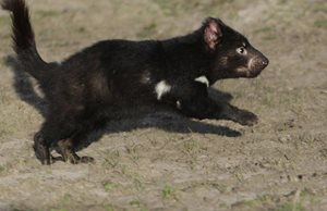 A one-year old male devil is released after tagging in the Tasmanian Midlands. Photo Cesar Peñaherrera Palma.