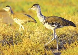 Bustards in native grasslands, Edgbaston Reserve, Qld. Photo Wayne Lawler / EcoPix.