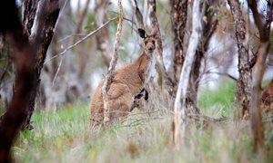 A Western Grey Kangaroo on the reserve. Photo Peter Morris.