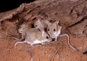 The Spinifex Hopping Mouse is found on Bon Bon, Cravens Peak, Ethabuka and Eurardy reserves. Photo Steve Parish/Nature Connect.