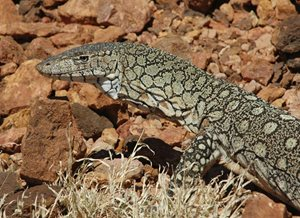 A Perentie. Photo Adam Kereszy