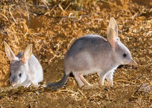 Bilbies. Photo Bruce Thomson.