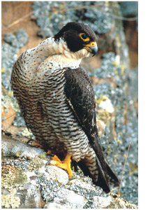 Peregrine falcon. Photo Dave Watts.