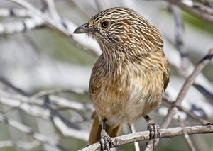 The Western Grasswren. Photo by George Chapman CC Some rights reserved