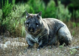 A Southern Hairy-nosed Wombat. Photo Steve Parish.