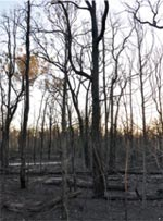 Intensely burnt forest on Carnarvon Station Reserve, Qld. Photo Cathy Zwick.