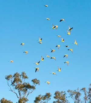 Budgerigars in flight, Carnarvon, Qld. Photo Terry Cooke.