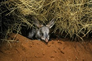 Greater Bilby. Photo by Kathy Atkinson/AUSCAPE.