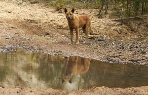 A Dingo by water at Yourka Reserve. Photo Martin Willis.