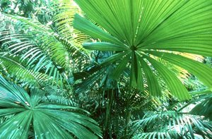 Fan Palm leaves on our reserve. Photo Siggy Heise-Pavlov.
