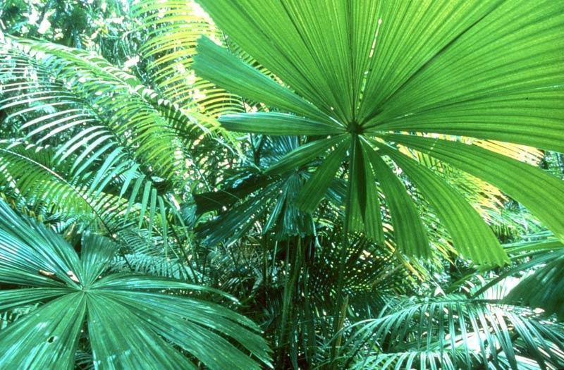 fan palm. fan palms leaves. photo siggy heise-pavlov. palm t