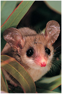 Western pygmy possum. Photo Jiri Lochman / Lochman Transparencies.