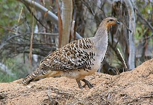 Malleefowl. Photo Craig Allen.