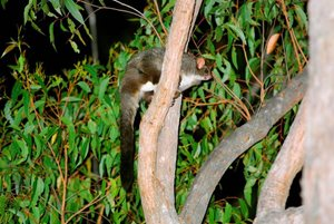 A Greater Glider at our Yourka Reserve (Qld). Photo Wayne Lawler/EcoPix.