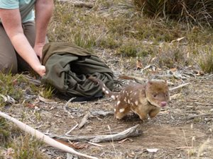 A Spotted-tail Quoll is released in the Tasmanian Midlands. Photo Rowena Hamer.
