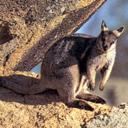 Purple-necked rock wallaby. Photo Australian Museum.