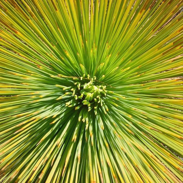 Grass Trees - Bush Heritage Australia