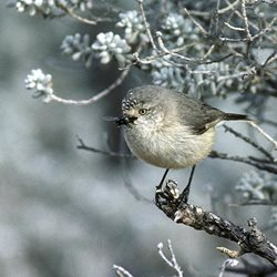 Boolcoomatta's slender-billed thornbill is benefiting from generous bequests. Photo Graeme Chapman.