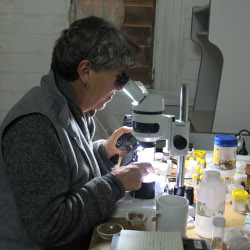 Barbara Baera examins a spider found in one of her pitfall trals