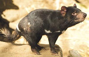 Everybody's favourite, the Tasmanian devil (Sarcophilus harrisii). Photo Matt Newton.