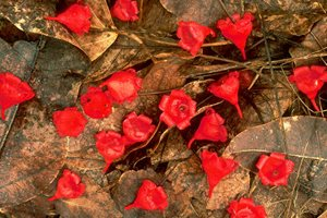Flame Tree flowers among the leaf litter at Currumbin Valley Reserve. Photo Wayne Lawler/ EcoPix.