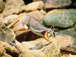 A Yellow-footer Rock-wallaby. Photo Wayne Lawler / EcoPix.