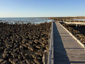 Boardwalk over stromatolites at Hamelin Pool. Photo Greg Suosaari.