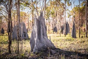 Alwal nests in termite mounds such as these. Photo Annette Ruzicka.