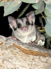 Sugar glider (Petaurus breviceps) at Scottsdale Reserve, NSW. Photo Jiri Lochman/Lochman Transparencies.