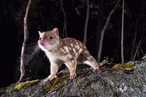 A Spotted-tail Quoll. Photo Bruce Thomson.