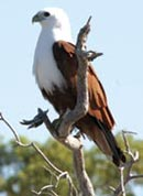 A Brahminy kite (Haliastur Indus) that's taken up residence in the region. Photo courtesy The Wunambal Gaambera Aboriginal Corporation.